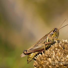 Les Palenik - Brown grasshopper