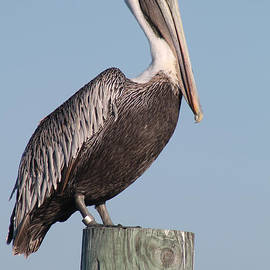 Jennifer Calfee - Brown Pelican