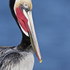 Bryan Keil - Brown Pelican portrait