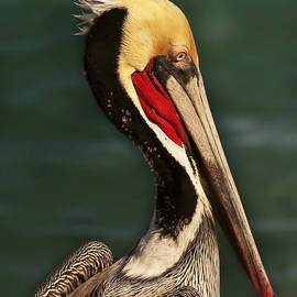 Lee Kirchhevel - Brown Pelican Portrait