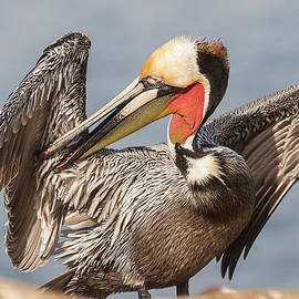 Lee Kirchhevel - Brown Pelican Preening 2