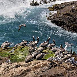 Kathleen Bishop - Brown Pelicans and Gulls on the Reef