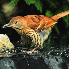 Dennis  Baswell - Brown Thrasher