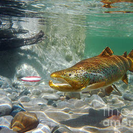Brown Trout and Dardevle