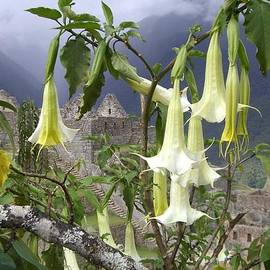 Barbie Corbett-Newmin - Brugmansia at Machu Picchu