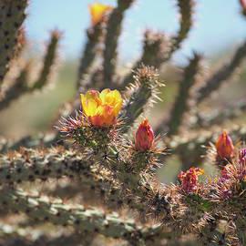 Marianne Campolongo - Buckhorn Cholla Cactus Arizona Desert