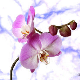 Mariarosa Rockefeller - Budding Orchids