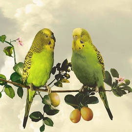 IM Spadecaller - Budgerigars in Kumquat Tree