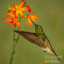 Buff-tailed Coronet Hummingbird No 1