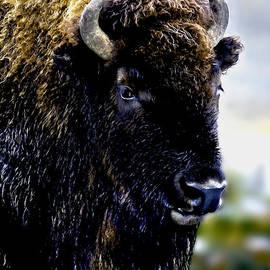 Bob and Nadine Johnston - Buffalo in Yellowstone National Park