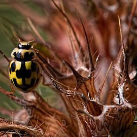 Leif Sohlman - Bug In Thorns