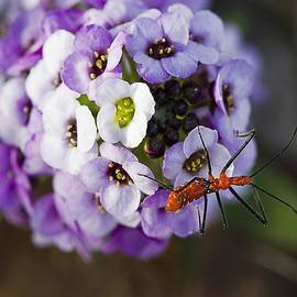 TN Fairey - Bug On A Sweet Alyssum Bloom