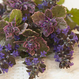 Sandra Foster - Buglweed Blossoms And Leaves On Lace