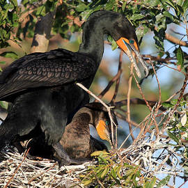 Meg Rousher - Building A Nest - Double-crested Cormorant