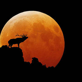 Stuart Harrison - Bull Elk
