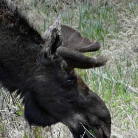 Dan Sproul - Bull Moose Grazing