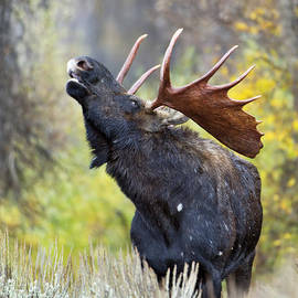 Gary Langley - Bull Moose in Rut