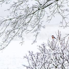 Aldona Pivoriene - Bullfinch on a snowy branch