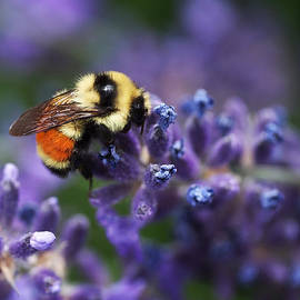 Rona Black - Bumblebee on Lavender