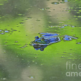 Al Powell Photography USA - Buoyant Bullfrog