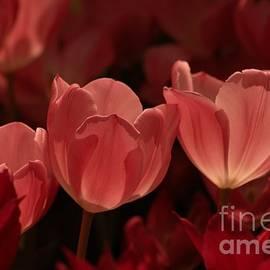 Kathleen Struckle - Burgundy Tulips