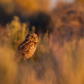 Mavourneen Strozewski - Burrowing Owl at Sunset