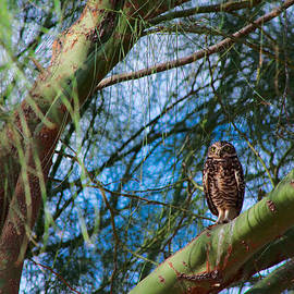 Ed  Cheremet - Burrowing Owl in a Palo Verde Tree