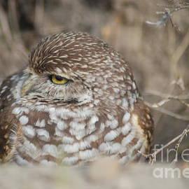 Oksana Semenchenko - Burrowing Owl