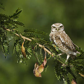 Saija  Lehtonen - Burrowing Owl on a Branch