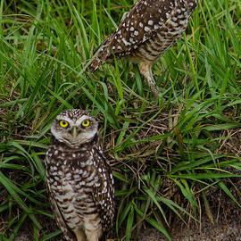Brian Manley - Burrowing Owl Pair IV