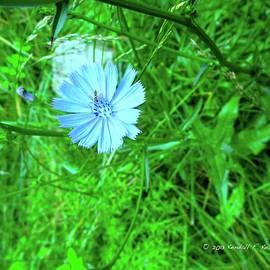 Kendall Kessler - Burst of Chicory