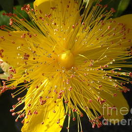 Bryan Hanson - Burst of Yellow - St Johns Wort