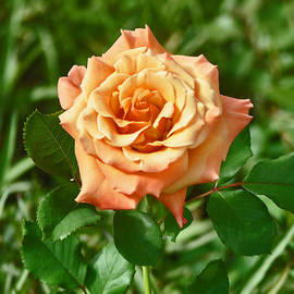 Jay Milo - Buttercream Over Pink Rose