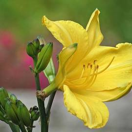 MTBobbins Photography - Buttered Daylily Rebloom