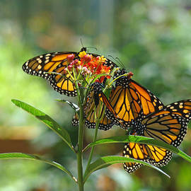Baslee Troutman Nature Photography Art Print - Butterfiles art prints Orange Monarch Butterfly