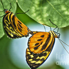 Thomas Woolworth - Butterflies Mating