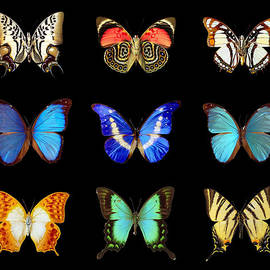 Nicholas Romano - Butterfly Collection
