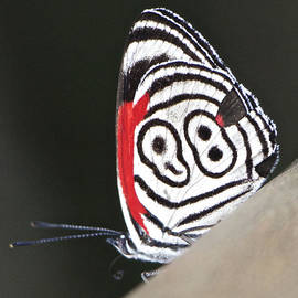 Venetia Featherstone-Witty - Butterfly Diaethria Euclides Phlogea