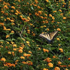 Judy Vincent - Swallowtail on Lantana