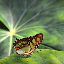 Trisha Buchanan - Butterfly Leaves