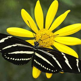 Saija  Lehtonen - Butterfly Magic