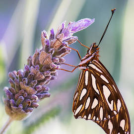 Moira Rowe - Butterfly on French Lavender