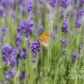 Elaine Teague - Butterfly on Lavender