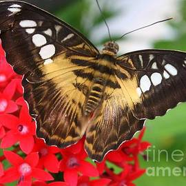 Photographic Art and Design by Dora Sofia Caputo - Butterfly on Red Flower