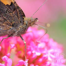 Gregory DUBUS - Butterfly on valerian flower