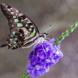 Patti Deters - Butterfly - Tailed Jay I