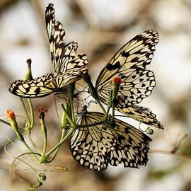 John Fotheringham - Butterfly Trio