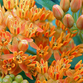 Jean Hall - Butterfly Weed