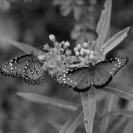 Joseph G Holland - Butterflys