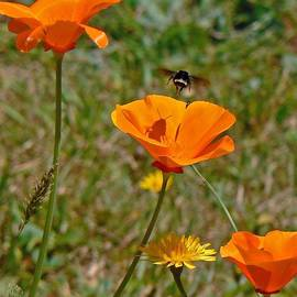 Gracia  Molloy  - CA POPPIES and BEE